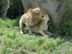 Africa lions mating safari Tanzania