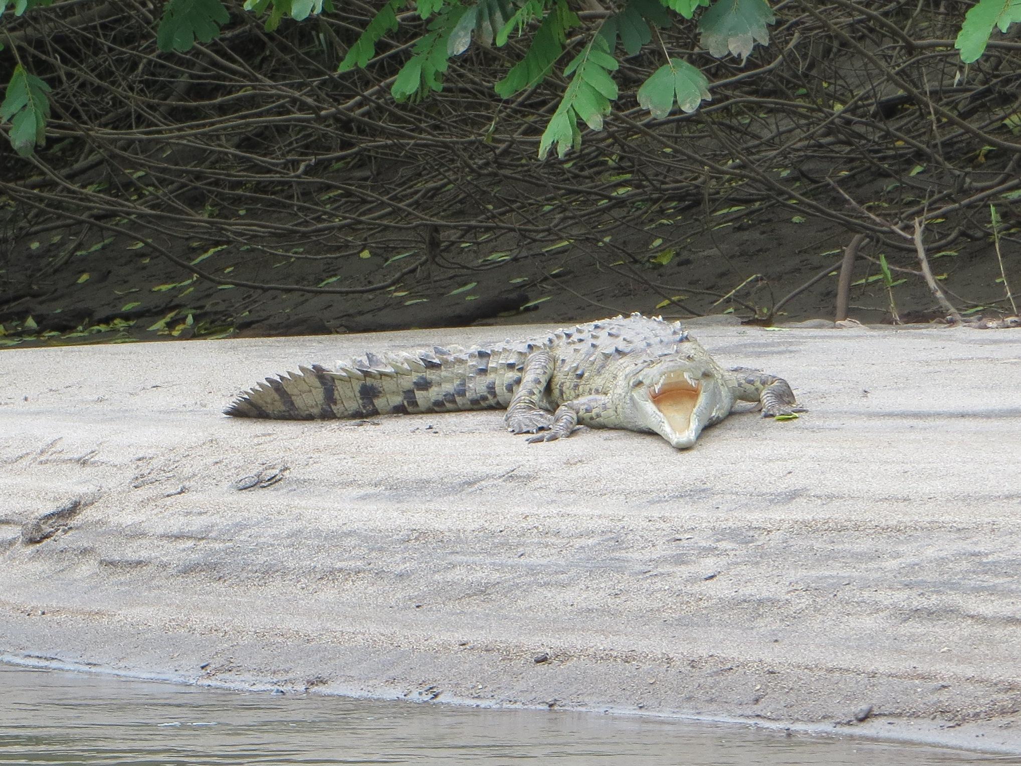 2012 Costa Rica crocodile