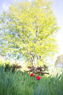 Tilleul et tulipes.