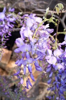 Fleur de glycine.