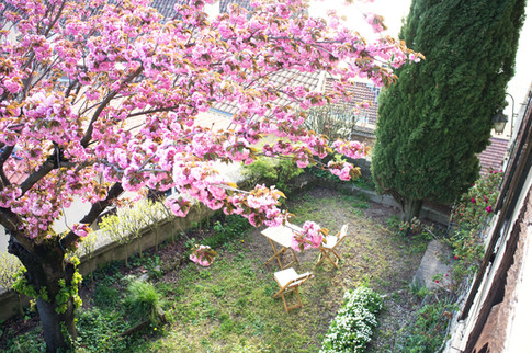 Un cerisier d'ornement en fleurs au printemps.
