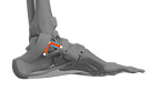 Med Ankle w Deltoid Recon PNG.png