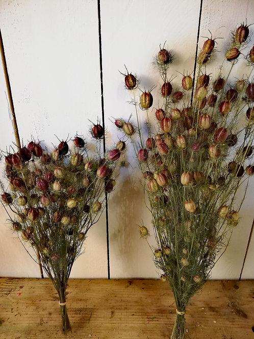 Nigelle de Damas 40 à 50 cm