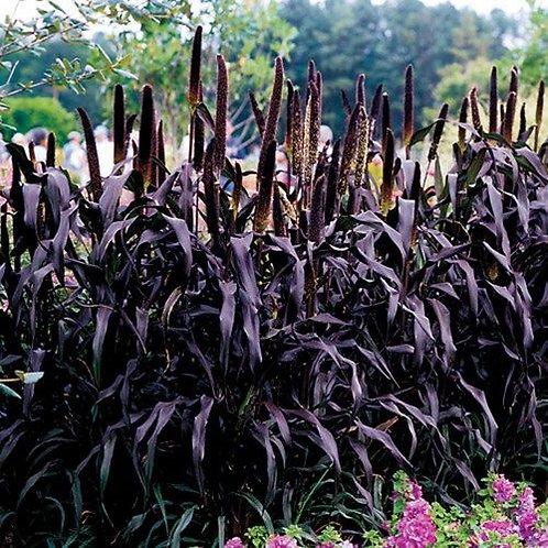 Millet purple