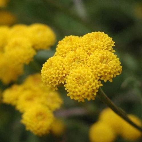 Agératum jaune