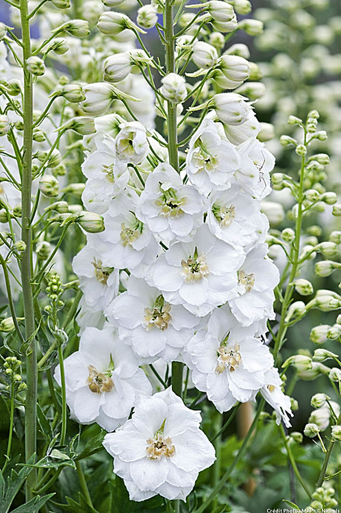 Delphiniums blanc