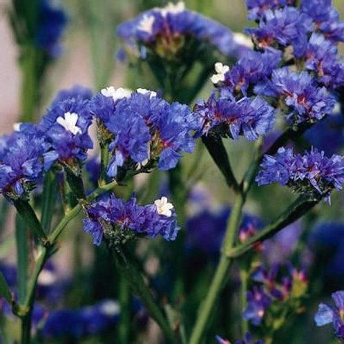 Statice sinuata bleu
