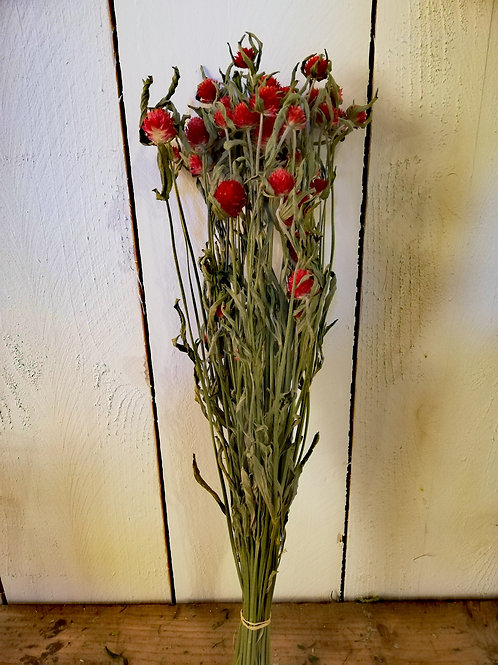 Gomphrena globosa rouge