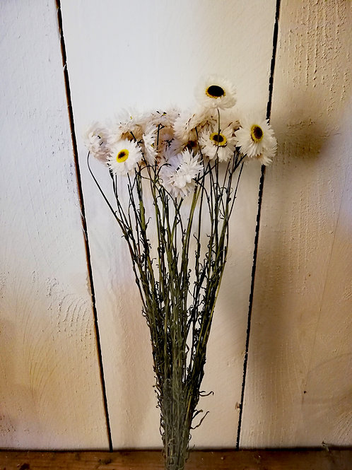 Acroclinium blanc coeur noir