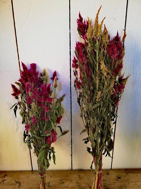 Célosie plumeuse 50 à 60cm