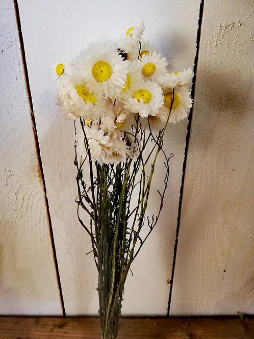 Acroclinium blanc coeur jaune
