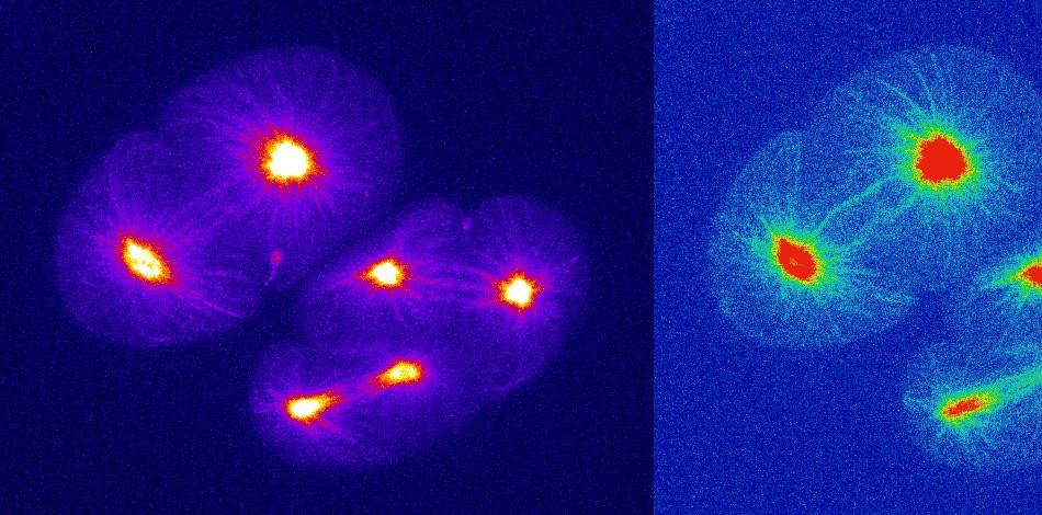 Tubulin embryo.jpg