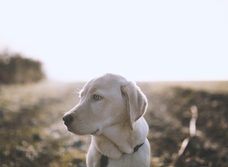 Ein kleiner Labradorwelpe wächst und wächst