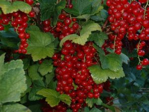 Growing Berries and Currants by Jack Kouwenhoven