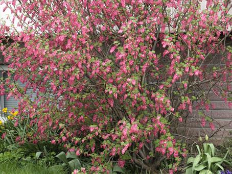 Pruning Spring Flowering Shrubs by Jack Kouwenhoven