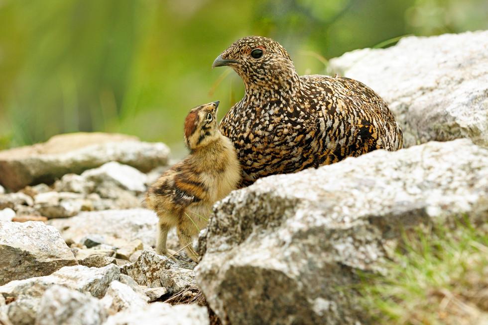 母さんライチョウを見つめる雛
