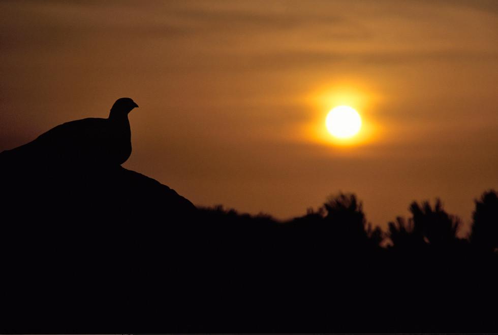夕暮れの見張りライチョウ
