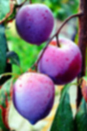 plums prunes fruit