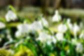 perce neige-275367_1920.jpg