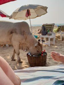 Koe op het strand