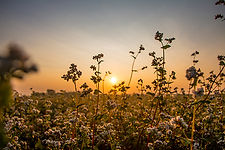 Buckwheat field in the sunset