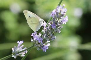 Schmetterlinge, Kohlweissling