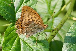 Schmetterlinge, Kaisermantel
