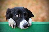 Skeptic sad border collie dog thinking &