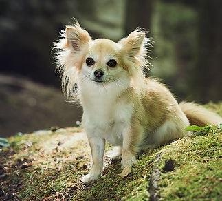 Ferun Chihuahua Spürhund für Bettwanzen - Ungeziefer