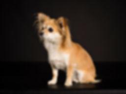 Ferun Chihuahua Pro Cane Hundecoaching Hundeschule