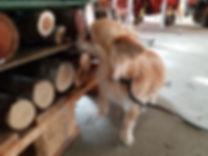 Bettwanzenspürhund Pro Cane Spürhund Ferun Schnüffel-Gruppe Objektsuche