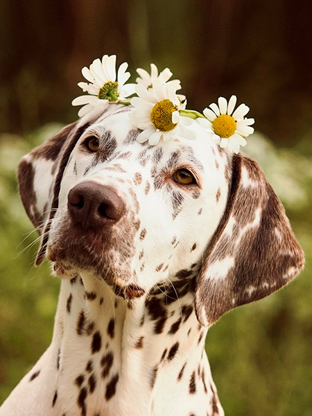 hundetraining-erziehung-dalmatiner-mit-b