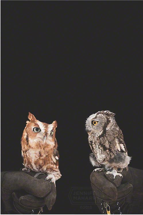Eastern and Western Screech Owl