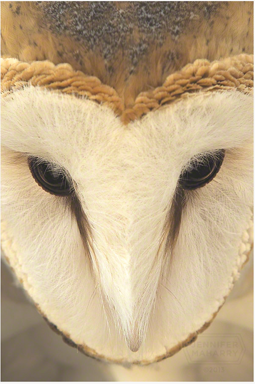 Barn Owl Face