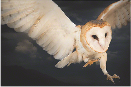 Barn Owl Diving