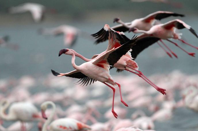 Flamants roses du lac Nakuru