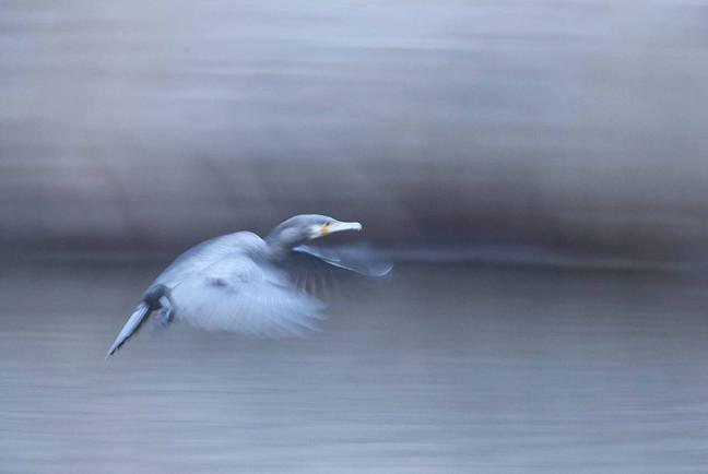 Cormoran fugace