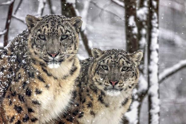 Panthères des neiges