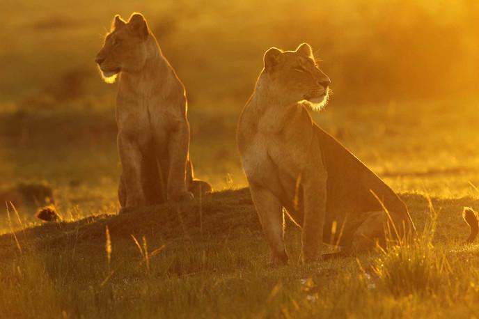 Lionnes aux premiers rayons