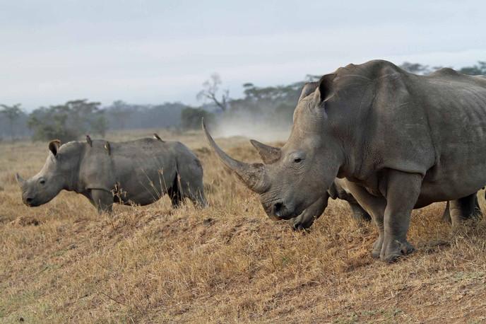 Mâle rhinocéros