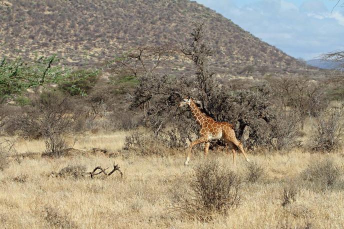 La course du girafon