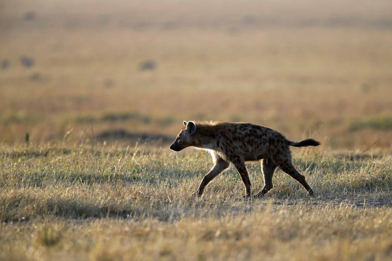 Hyène en maraude