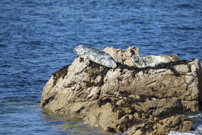 Phoques gris