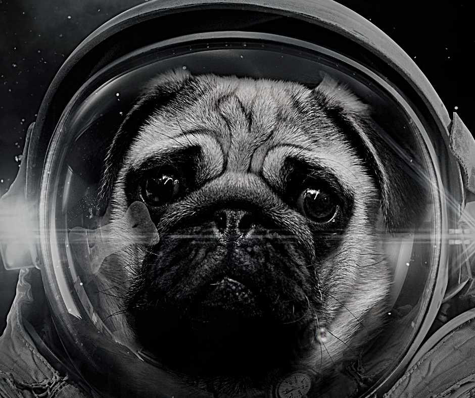 A pug dog in space looking quizzical while wearing an astronaut's helmet