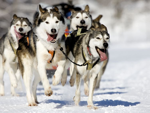 Tips for Accounting Professionals From A Pack Of Sled Dogs
