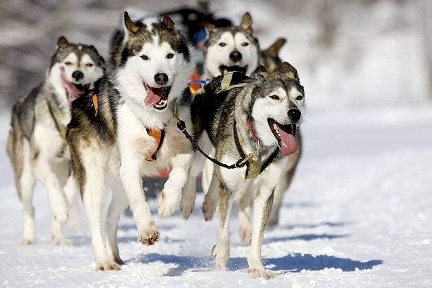 Image result for sled dogs