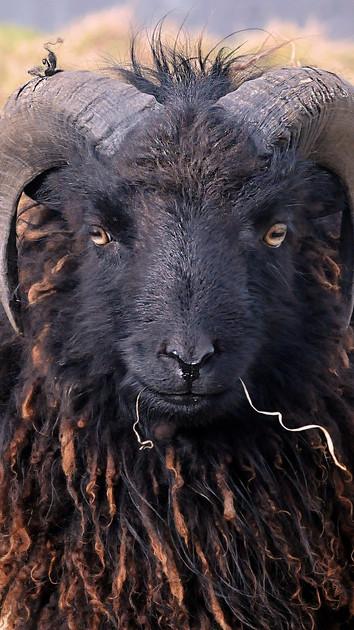 sheep-640661_1920.jpg