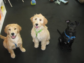 Why Socialize Young Puppies