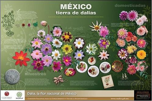 México, tierra de dalias