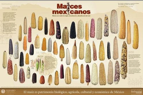 Maíces Mexicanos